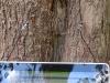 Schalltomographie an einer Kastanie mit Stammmhöhlung