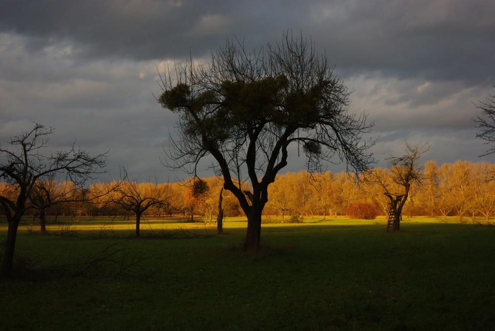 Baumfremder Bewuchs: Sind Misteln und Efeu eine Gefahr für Bäume?