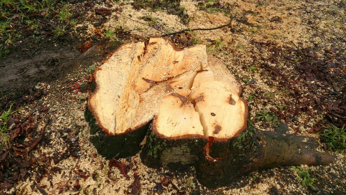 Baumstumpf einer Kastanie