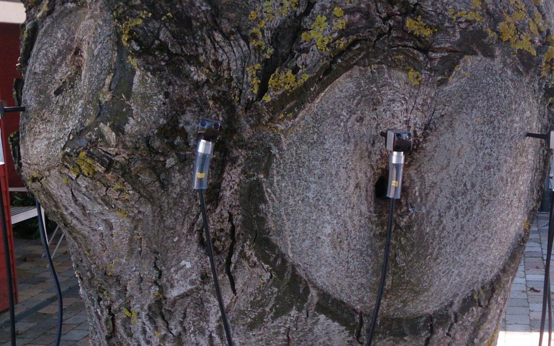 Untersuchung eines Walnussbaumes