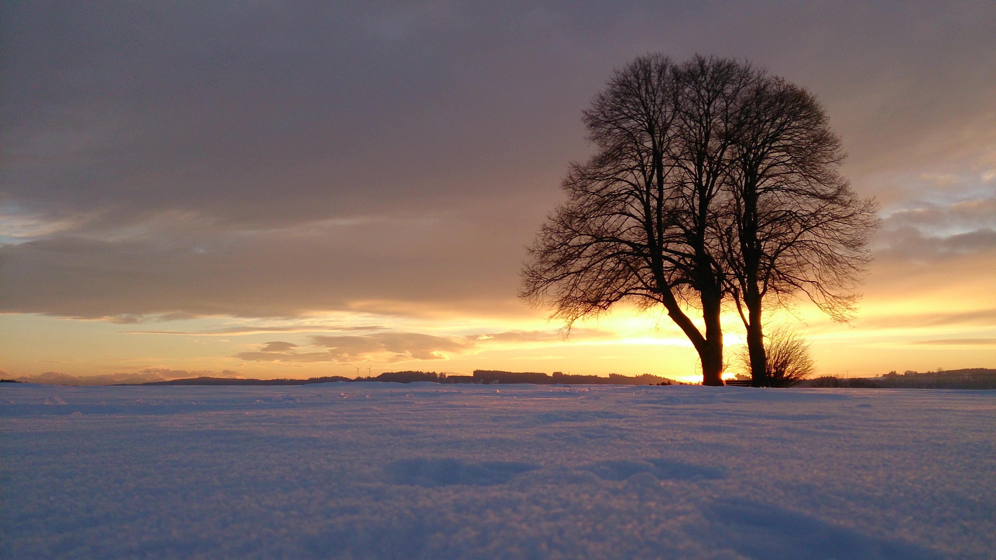 Winterlinde, Tilia cordata