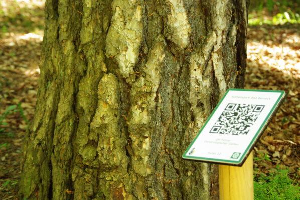 QR-Code an einer Schwarzkiefer (Pinus nigra)