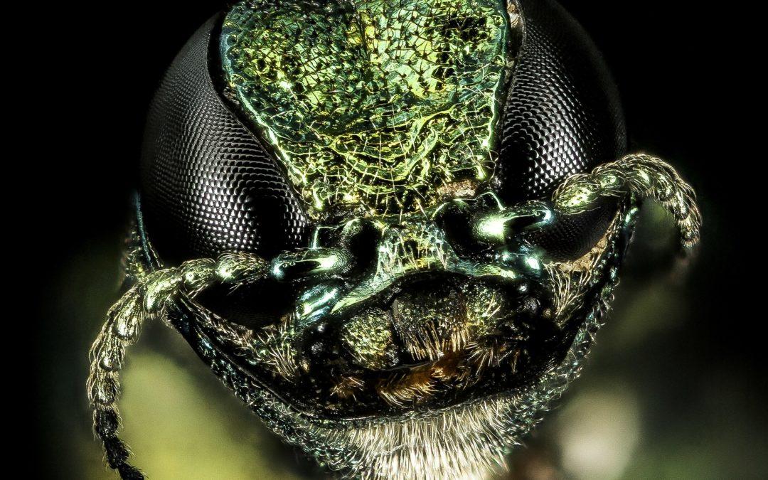 Der Eschenprachtkäfer – Neue Bedrohung?