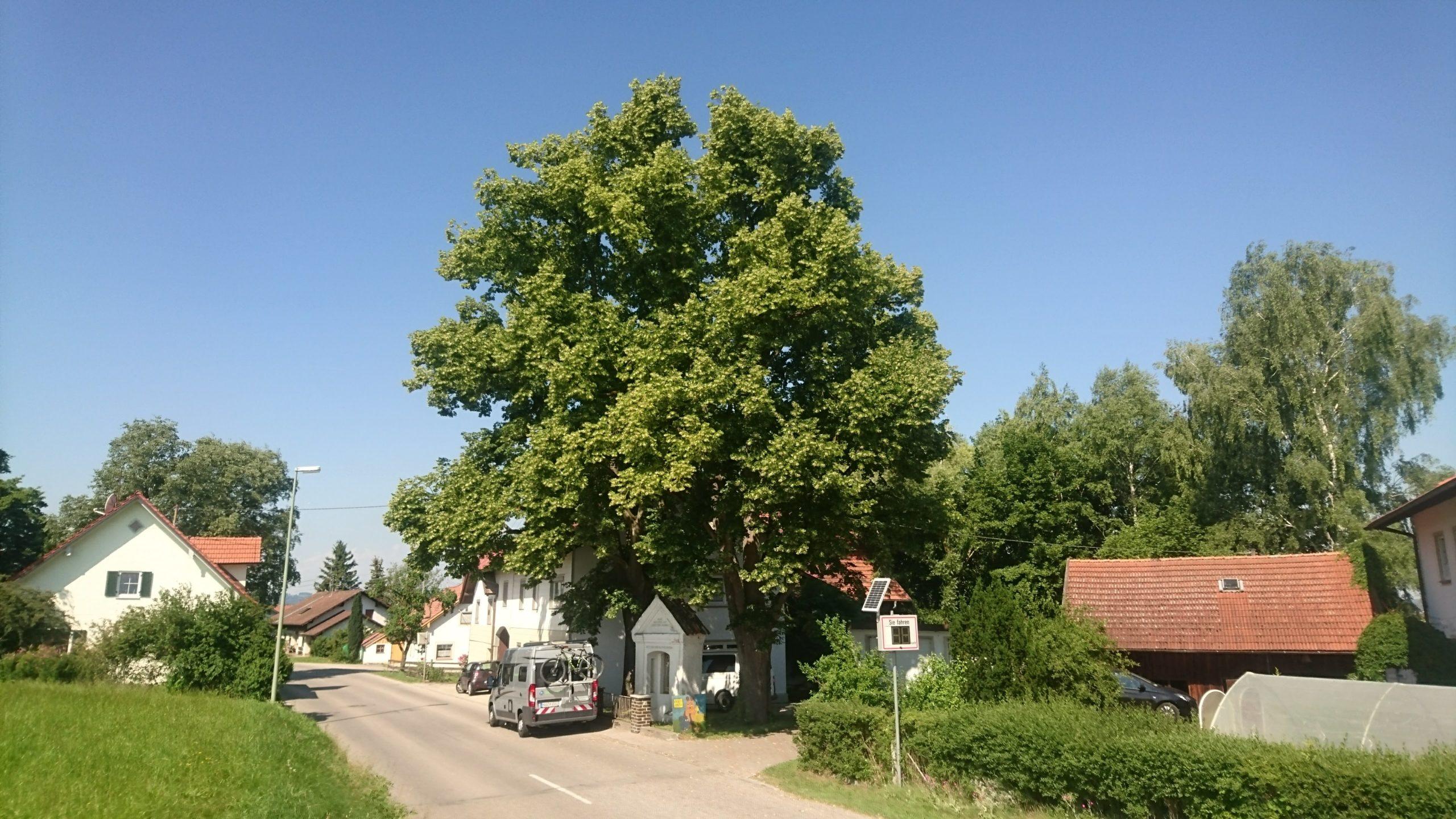 Baumuntersuchungen mit Gutachten an Naturdenkmalen